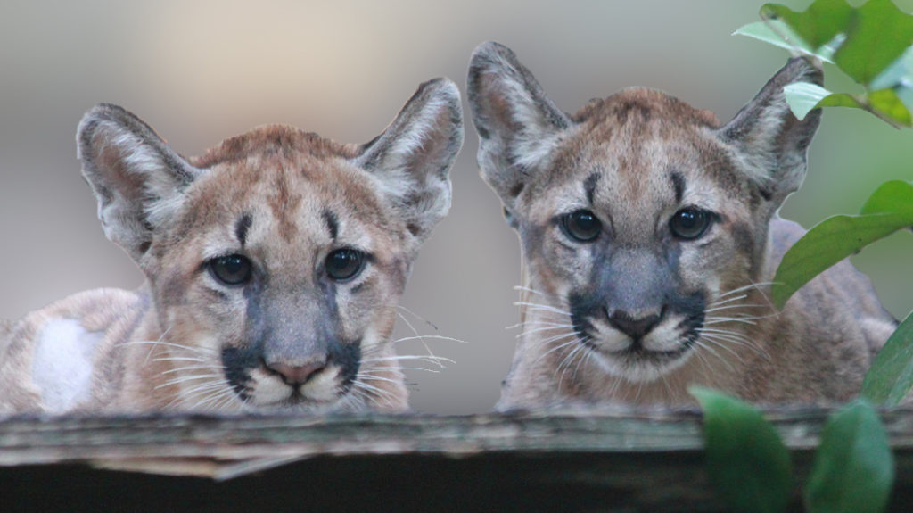 Terrain, Taxes, and Land Trusts: Saving the Florida Panther Through the Use of Conservation Easements
